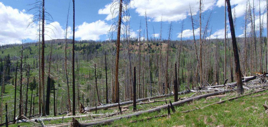 Sparse Tree Regeneration After Forest Fire Near Yellowstone Photo Courtesy Brian Harvey