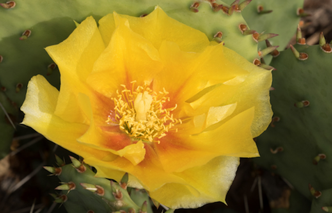 Prickly Pear Slideshow 645X415