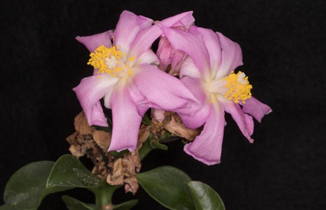 Rose Cactus Slideshow 645X415