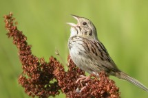 A Henslow's sparrow, a bird the Wisconsin DNR includes among its Species of Greatest Conservation Need, perches atop a plant. A new study shows that grasslands support more than three times as many bird species as cornfields. (Photo by Tom Prestby)