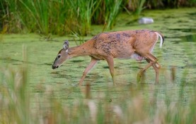 A deer wades into a stormwater-detention pond at the Curtis Prairie at the University of Wisconsin-Madison Arboretum. (Photo by Jeff Miller, University Communications)