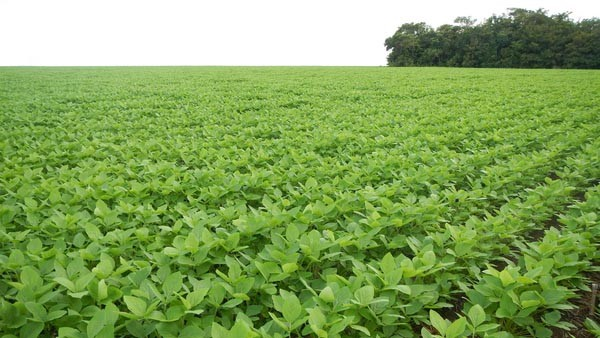 Soybeans grow near a forested area in the Brazilian state of Mato Grosso. Under the Soy Moratorium, major trading companies do not purchase soybeans produced in the Brazilian Amazon on recently deforested areas. (Photo by Lisa Rausch)